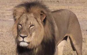 Cecil,  ícono del parque nacional Hwange.