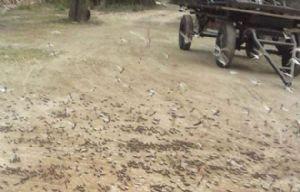 Plaga de langosta en Santiago del Estero