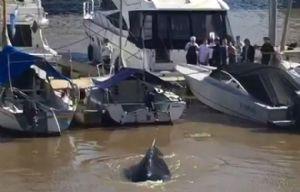 El cetáceo apareció en la zona de amarres en el dique 4.