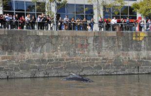La ballena estuvo en Puerto Madero varada.
