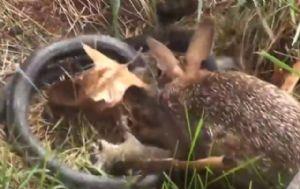 Una mamá coneja salva a su cría del ataque de una serpiente.