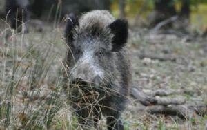 Aseguran que es habitual la caza de jabalí en la zona de Alta Gracia.