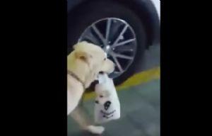El labrador que pasea a su cachorro en una bolsa enternece a la web.