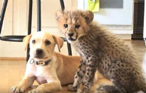 La inseparable amistad de un guepardo y un perro enternecen a la web.