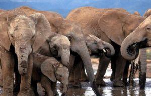 Revelan por qué los elefantes no padecen cáncer.