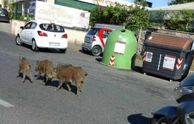 Los jabalíes sorprenden en las calles italianas
