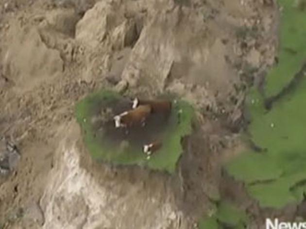 Tres vacas quedaron atrapadas tras el sismo en Nueva Zelanda.