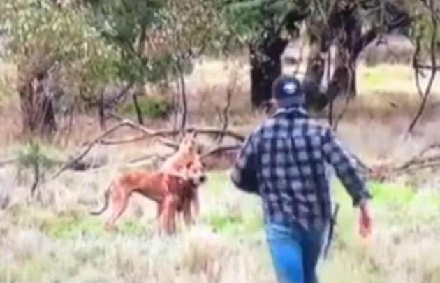Un joven salvó a las trompadas a su perro de las garras de un canguro.