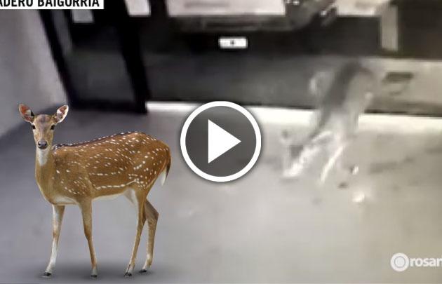 Un ciervo causó sorpresa en Granadero Baigorria.