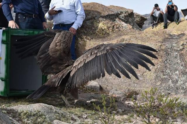 FOTO: Liberaron en las Altas Cumbres a un cóndor rehabilitado