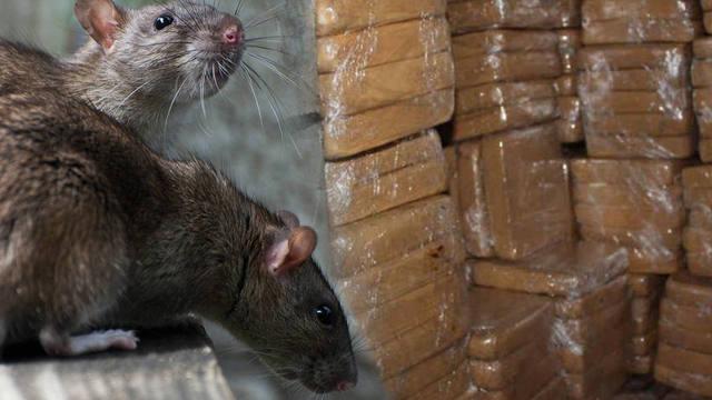 FOTO: Aseguran que ratas se comieron 500 kilos de droga