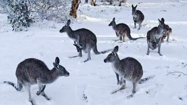 AUDIO: Canguros en la nieve, una efecto del cambio climático