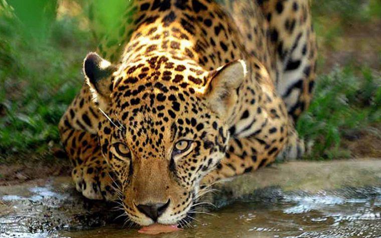FOTO: El Yaguareté es el felino más grande de América.