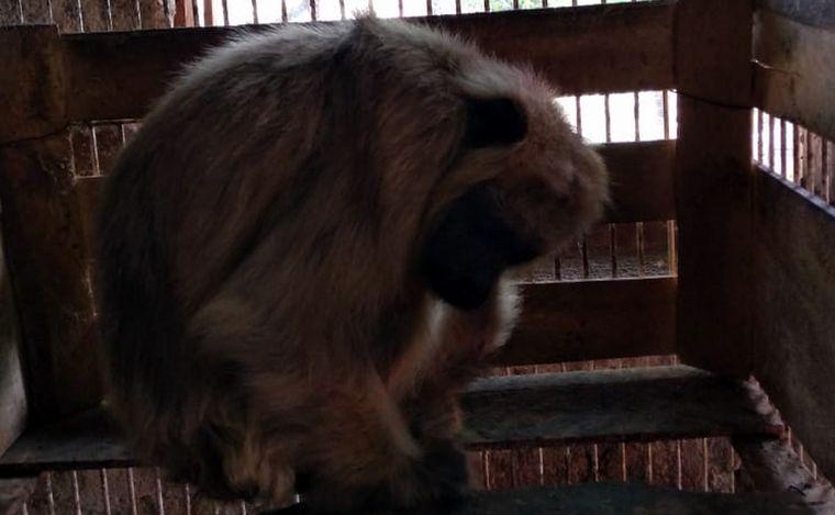 AUDIO: Tres monos carayá se incorporaron a la reserva de La Cumbre (por Tomás Villagra)
