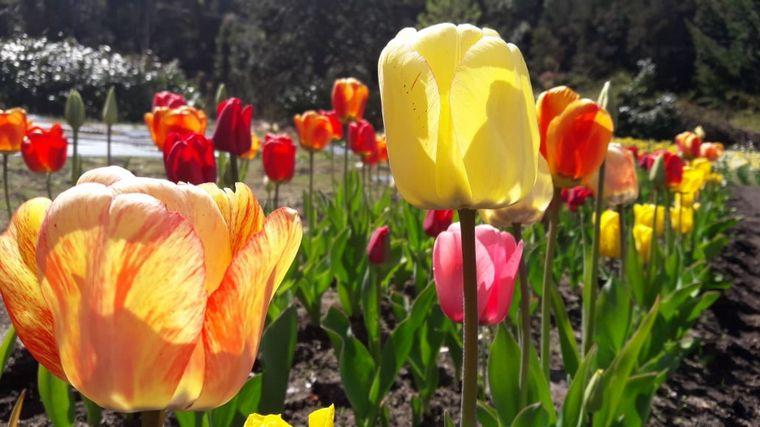 AUDIO: Chacra Danubio, un paraíso de tulipanes en Bariloche (Por Marcela Psonkevich)