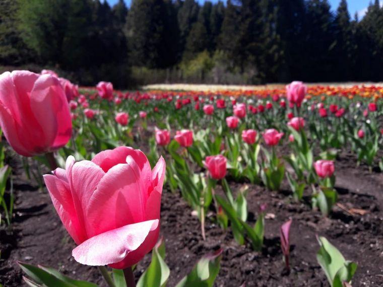 FOTO: Además de tulipanes también cultivan narcisos.