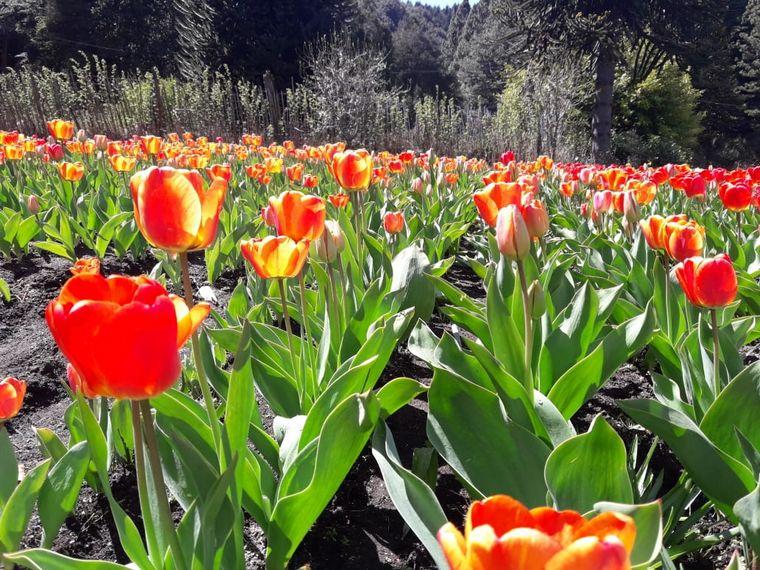 FOTO: Chacra Danubio, un espectáculo de Tulipanes en Bariloche