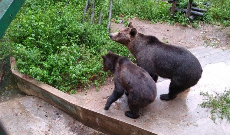 FOTO: Trasladarán a los osos del zoo de Córdoba a Estados Unidos.