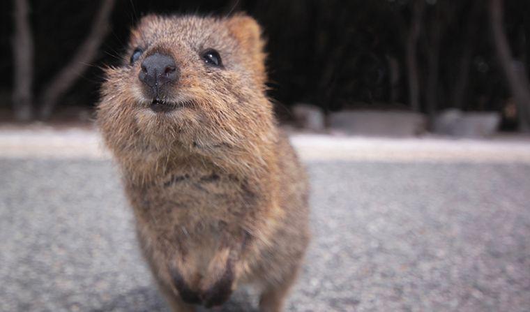 FOTO: Quokka el animal más feliz del mundo