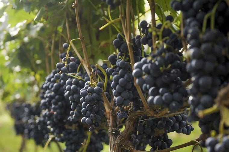 FOTO: Se consume más vino tinto que blanco.