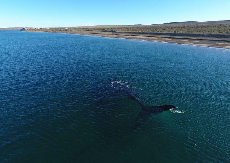 FOTO: Más de 100 ballenas viajan de Brasil a Península Valdés (Foto: Telam)