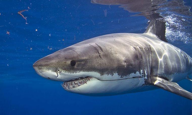 Un tiburón blanco mató a un joven surfista en Australia