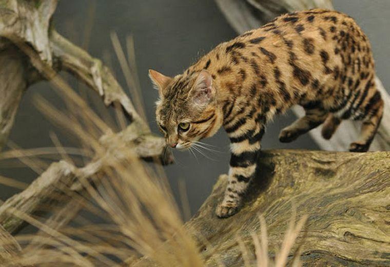 FOTO: Gato patinegro adulto (Foto: Archivo)