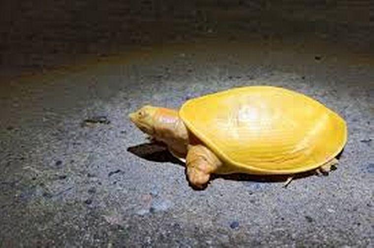 FOTO: Encuentran una extraña tortuga amarilla