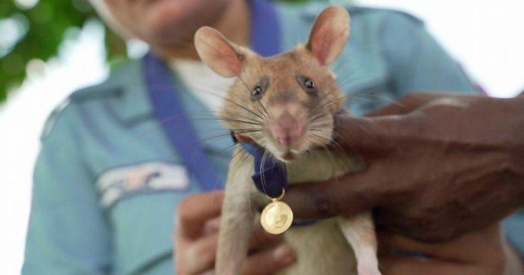 ¡¿Qué?! Condecoran a rata por salvar vidas humanas durante siete años