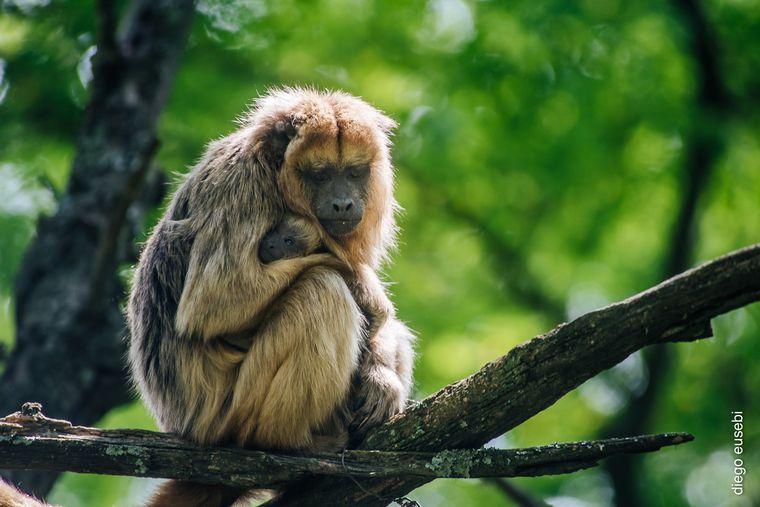 FOTO: Proyecto Carayá: fauna de la reserva natural en La Cumbre
