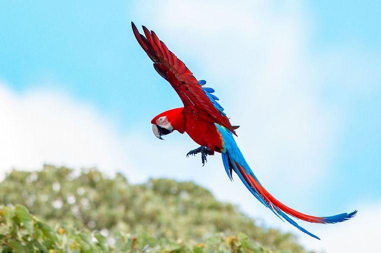 FOTO: Nacieron tres guacamayos rojos tras 150 años de extinción