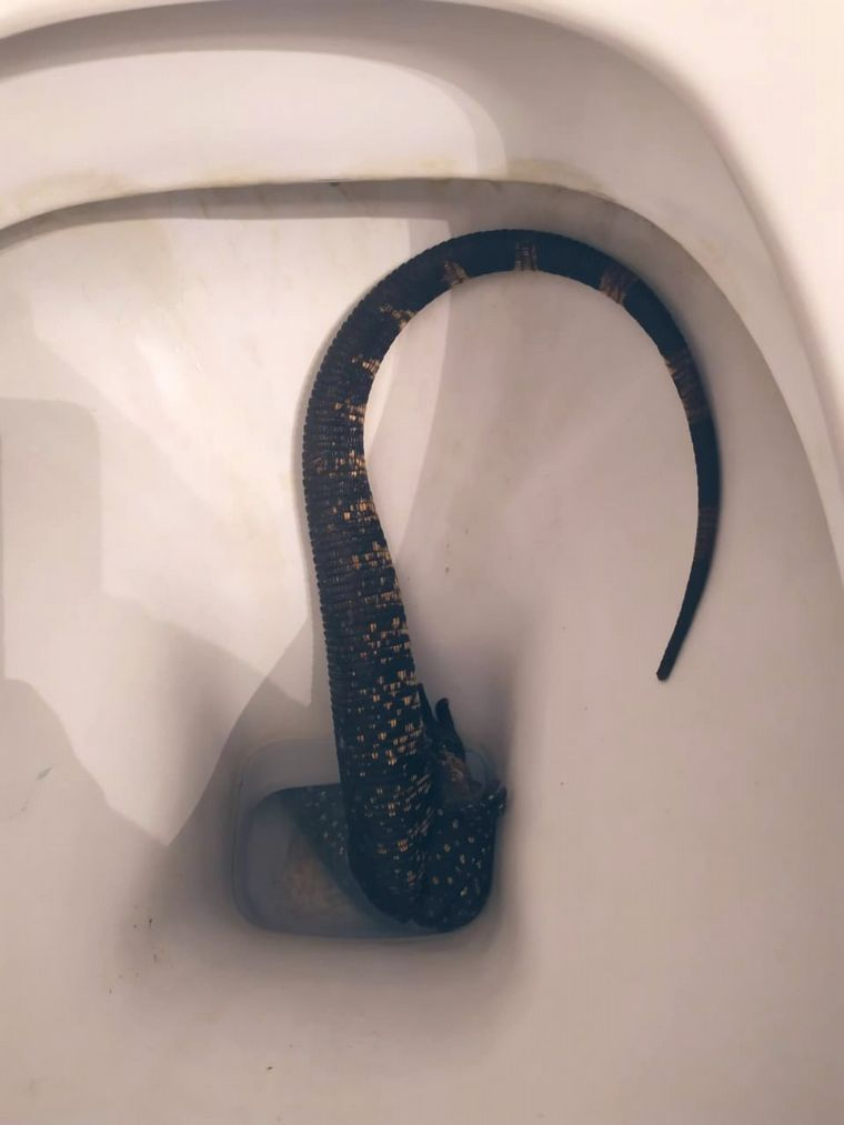 FOTO: Un lagarto se metió en el inodoro de una mujer en La Plata