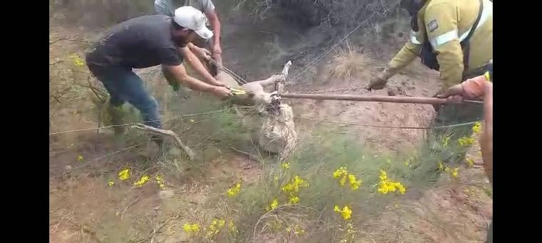 FOTO: Rescataron a un puma atrapado al huir del incendio en Ambul