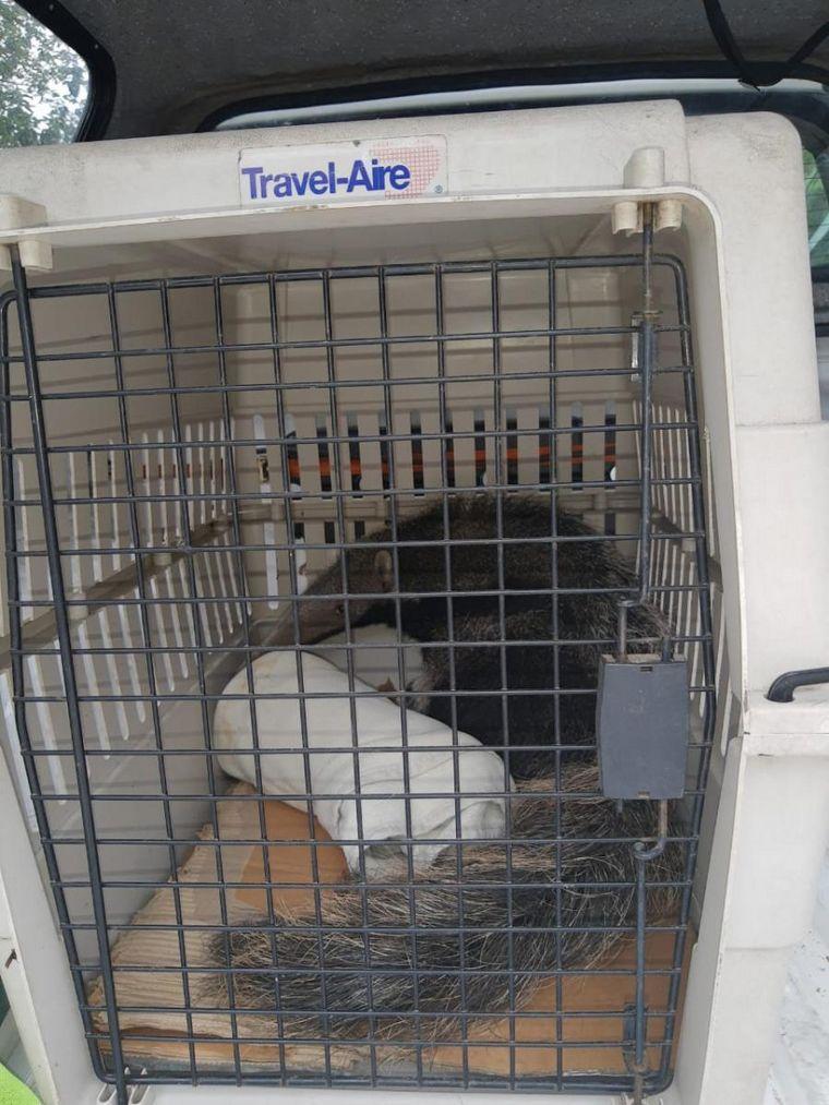 FOTO: Salvan a un oso hormiguero cuando intentaban venderlo
