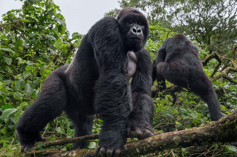 Brote en zoológico de California; ¡gorilas contraen coronavirus!