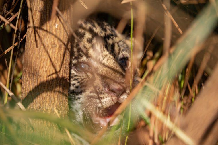 FOTO: Liberaron a una familia de yaguaretés en Iberá (Fotos: Rewilding)
