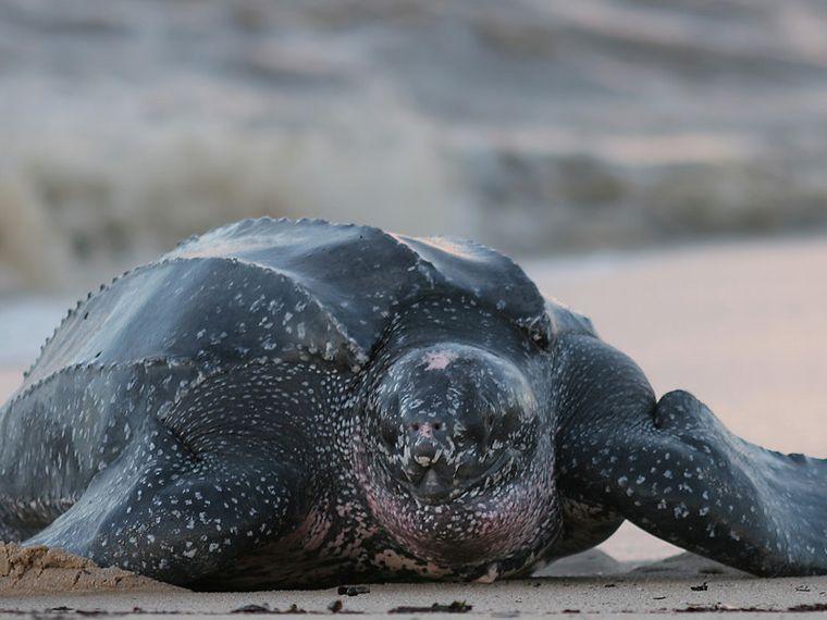 FOTO: Tortuga marina Laúd.