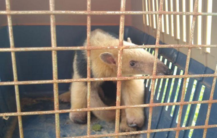 AUDIO: El oso melero fue rescatado por Policía Ambiental y trasladado a una reserva