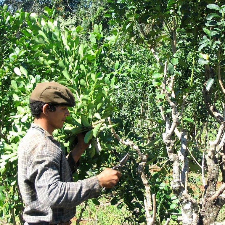 AUDIO: La Ruta de la Yerba Mate, un viaje a la tradición argentina