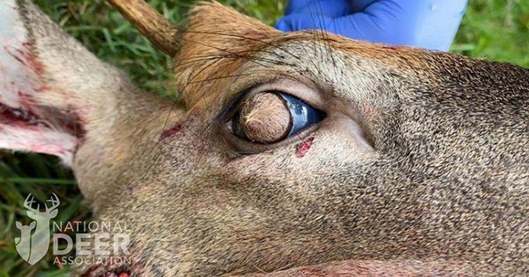 FOTO: Encuentran a un venado cola blanca con pelo en el ojo