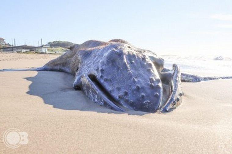 FOTO: Hallan una ballena muerta en una playa de Mar del Plata