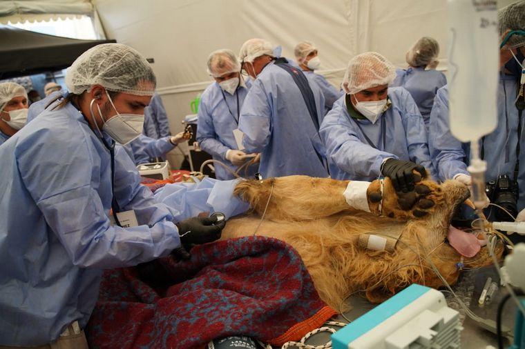 FOTO: Operaron a Tango, el león del Parque dela Biodiversidad
