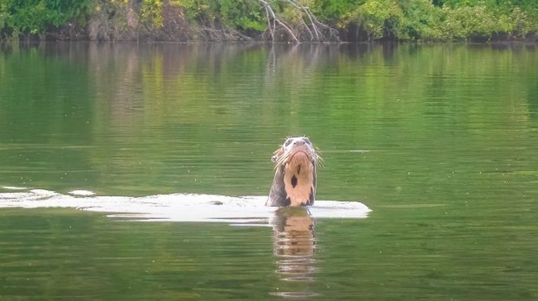 FOTO: Encontraron en Chaco una criatura que se creía extinta