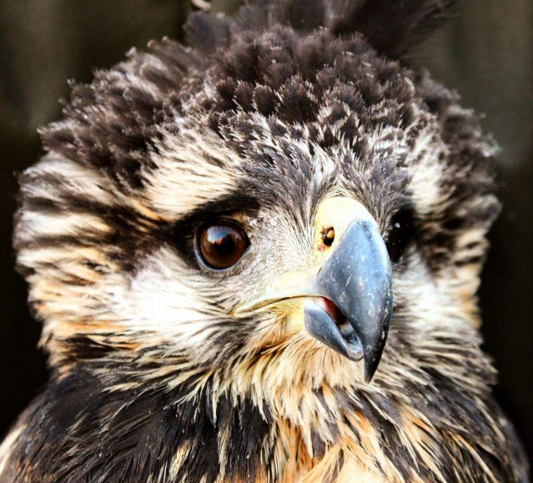 FOTO: Rescató un ave de la ruta y resultó ser un águila en peligro de extinción