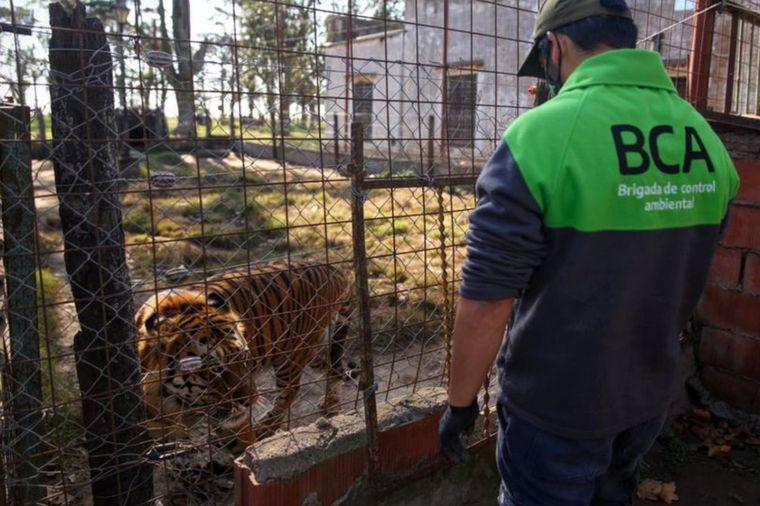 FOTO: Rescataron un tigre de bengala y una leona tras un allanamiento en Santa Fe.