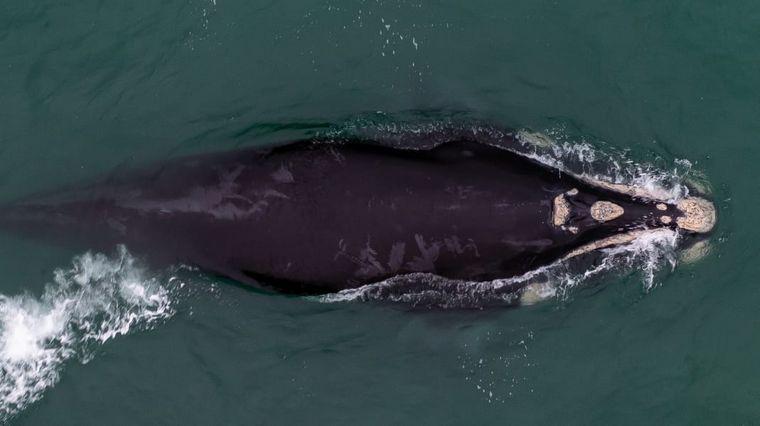 FOTO: Volvieron las ballenas jorobadas a Las Grutas. Foto: Sebastián Leal.