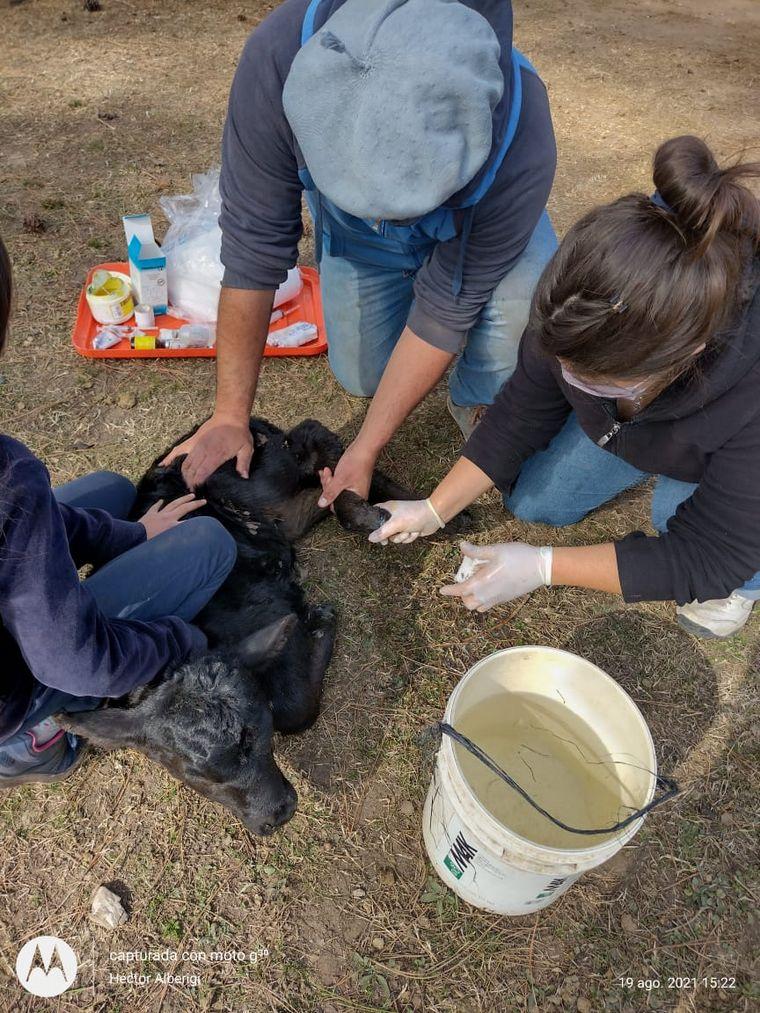 FOTO: Un grupo de veterinarios de la zona cuida a animales afectados por los incendios
