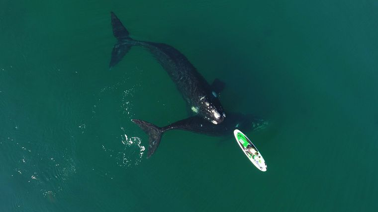 FOTO: Dos ballenas jugaron con un kayak en Puerto Madryn.