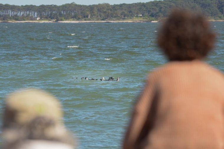 FOTO: Uruguay: rescataron pingüinos y los devolvieron al mar