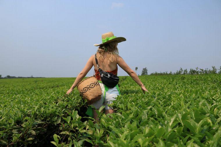 FOTO: La ruta del té